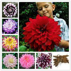 Vrai dahlia ampoules, dahlia fleur, (pas dahlia graines), bonsaï bulbes de fleurs, Symbolise le courage et chanceux, maison jardin plant-2 ampoules