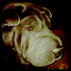 My Girl Blue ~ Chinese Sharpei ~ 5 yrs. old