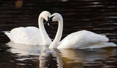 Greater Yellowstone Trumpeter Swan Initiative is a citizen science project to Help increase the Trumpeter swan population