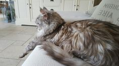 Tequilia hobby Maine Coon