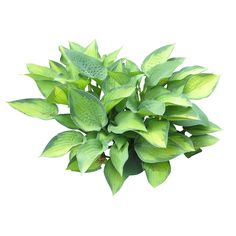 http://www.immediateentourage.com/wp-content/uploads/2013/06/Hosta-Shrub-1024x1024.png
