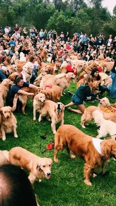 """Figure out more information on """"golden retriever puppies"""". Browse through our web site. Cute Baby Animals, Animals And Pets, Funny Animals, Cute Dogs And Puppies, I Love Dogs, Doggies, Cute Creatures, Mans Best Friend, Labrador"""
