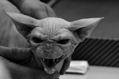 Sphinx cat Gremlin!!! Scared for life.