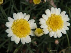 Yellow-centered, white daisies. ©Copyright by Marty Nelson. Website: http://martynelsonphotoart.wix.com/mn-photo-art