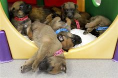 A litter of puppies from the Defense Department's Military Working Dog Breeding Program play at the center on Lackland Air Force Base in San Antonio DOD photo by Linda Hosek. Believe they are Belgian Malinois.