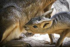 """""""Affection"""", pequeña cría de liebre de la patagonia, mamando de su madre en el Zoo Santo Inacio, Portugal."""