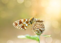In sunset light - Small pearl-bordered fritillary (Boloria selene) sleeping on a wild flower