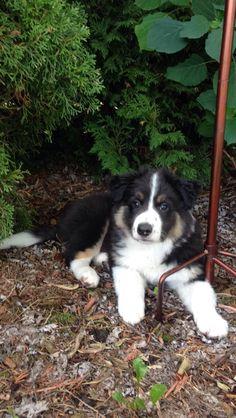 #tricoloured #bordercollie #puppy