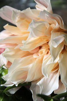 Cafe au Lait Dahlia - my favourite My Flower, Beautiful Flowers, Beautiful Gorgeous, Flower Petals, Colors Of Fire, Blue Fruits, Peonies, Dahlias, Dahlia Flowers