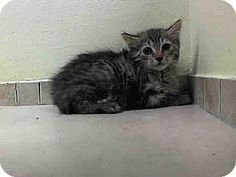 Brooklyn, NY - Domestic Shorthair. Meet KAZE a Kitten for Adoption.