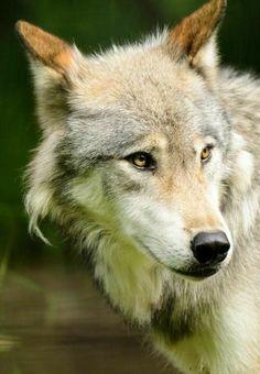Women/'s ULULATO DEL NOTTE V-Neck Wolf Uomo-Lazy One ®