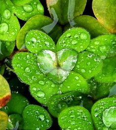 Clover with raindrop <3. Found on: http://natureboard.blogspot.fr/2015/03/clover-with-raindrop-heart.html