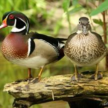 Wood duck /  Aix sponsa /  Pato de la Florida /  Pato-carolino /  Canard branchu /  Anatra sposa /  Brudand /  Karolinka