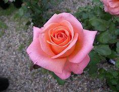 Rose Tattoos, Flower Tattoos, Rose Reference, Best Roses, Rosa Pink, Luscious Hair, Hybrid Tea Roses, Growing Roses, Rose Tea
