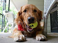 Nothing makes Charlie happier that a fresh @kongcompany tennis ball!