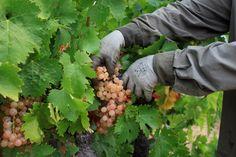 #Reportage à #Cassis dans les vignes du Domaine du château de Fontcreuse. #Photographe entreprise, corporate.