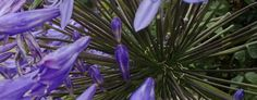 A different view of agapanthus. #Garden #Flower