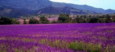 June is official Lavender month in Sonoma. The first hint is in the landscape – the tiny purple blooms with their distinctive perfume are popular plants in ...