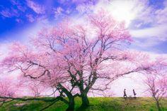 The cherry tree road   Tetsuya Hashimoto #photography