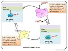 Regulation of Ras proteins