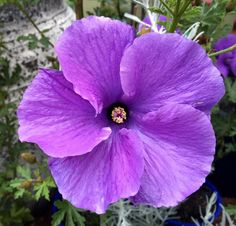Lilac hibiscus, Alyogyne huegelii