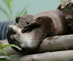 Otterly relaxed