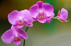 PRESENT - Esta orquídea é super resistente. Suas flores duram meses. É uma maravilha da natureza para a nossa observação...