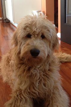 Luke, the Goldendoodle Apricot Goldendoodle, Goldendoodle Grooming, Standard Goldendoodle, I Love Dogs, Cute Dogs, Mini Doodle, Australian Labradoodle, Poodle Mix, Dog Costumes