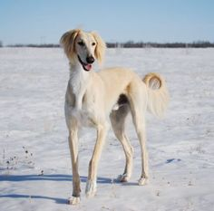 Saluki - very intelligent breed