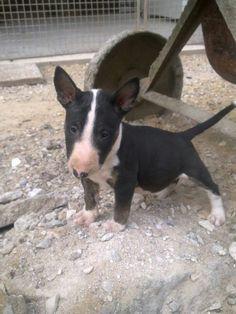 Baby #Bull #Terrier