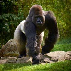 Silverback Gorilla Strength - Bing Images