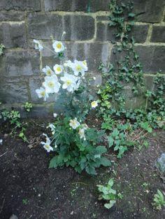 Wind flowers in an Edinburgh tentament garden  2014