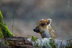 Photograph Little wild boar by Stefan Rosengarten on 500px