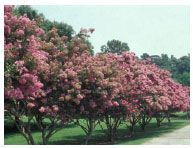 VT Extension info on crepe myrtle pruning Pruning Crepe Myrtles, Colorful Flowers, Flower Colors, Lagerstroemia, Outside Patio, Virginia Is For Lovers, Harvest Party, Garden Inspiration, Garden Ideas