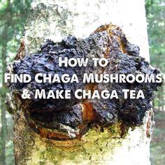 The chaga mushroom is a valuable super food! Learn how to find chaga mushrooms and make chaga tea.