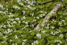 26 vaste schaduwplanten die graag buiten in de schaduw staan Shade Garden, Garden Projects, Geraniums, Flora, Herbs, Nature, Plants, Image, Lavender