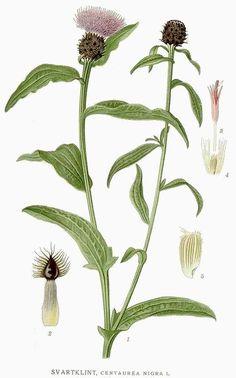 Centaurea nigra (chaber nadreński)