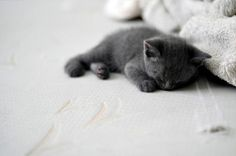 Russian Blue Cat. o my goodness so cuteeeeeee!  Omg merc as a kitten...there really would have been no hope for me!!