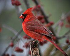 Red Bird (Cardinal)