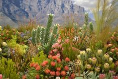 Fynbos vegetation of South Africa--this is plant pallette I particularly like with its' bold foliage, varying colors in a sunbleached scape. Flowers Nature, Wild Flowers, Rare Flowers, The Beautiful Country, Beautiful Places, African Plants, Belle Plante, Desert Plants, Desert Cactus