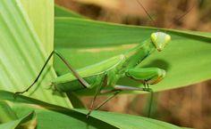 Mantis Religiosa HD Wallpaper