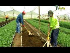 Cultivo de Crisantemo - Juan Gonzalo Angel - TvAgro Chrysanthemum