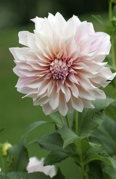 #Pink Flowers - Dahlia 'Cafe au Lait' http://www.gardenoohlala.com