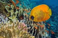 Tropische Fische und Hard Korallen im Roten Meer gypten Lizenzfreie Bilder