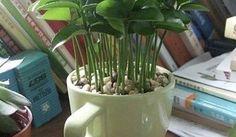 ¡Qué bien huelen las hojas de limonero! Refresca el ambiente de tu casa con hojas de limonero cultivadas en una taza, verás qué fácil es.