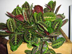 Маранта трехцветная - Maranta tricolor, маранта фото