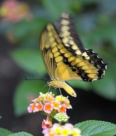 Tiger Swallowtail on lantana