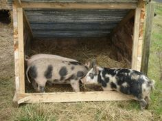 Our weaner pigs have been growing pretty quickly so it was time for them to have some more permanent accommodation. Their first house was this hastily built hay bale house. It worked out really wel… Barn Animals, Cute Animals, Pig Fence, Pig Shelter, Kune Kune Pigs, Goat Pen, Pot Belly Pigs, Pig Farming, Mini Pigs