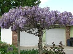 Flowering shrub (Wisteria) This is a incredibly beautiful vine. It lasts for years and grows beautifully. One plant you can train easily. Conifer Trees, Trees And Shrubs, Trees To Plant, Little Flowers, Beautiful Flowers, Prettiest Flowers, Outdoor Plants, Garden Plants, Wisteria Tree