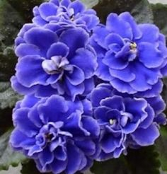 African Violet Plant- Lyon's Little Sweetheart (semiminiature)